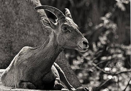 Mountain Goat by Zsuzsanna Szugyi