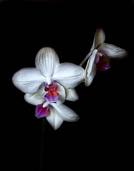 Norma's Orchid by Cecil Fuselier