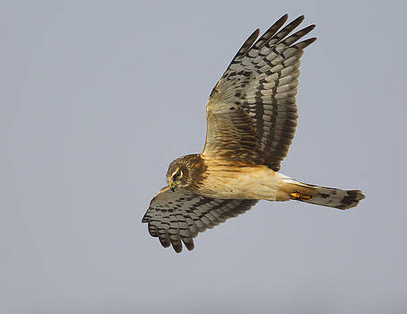 Northen Harrier by Ruhikanta Meetei