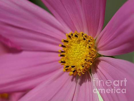 Of Pink and Yellow by Alfredo Rodriguez