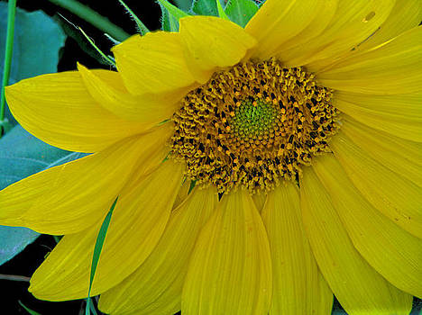 One More Sunflower by Victoria Sheldon