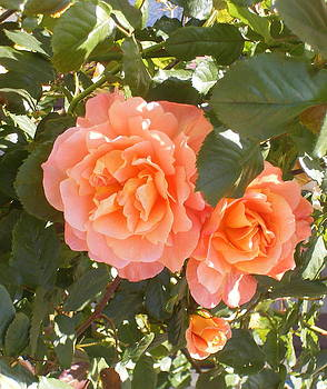 Orange Rose by Sheba Goldstein