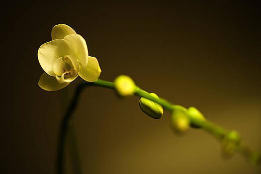 Orchid by Bakhtiar Umataliev