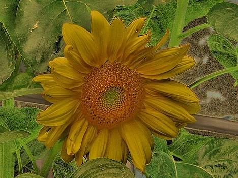 Painted Sunflower by Victoria Sheldon