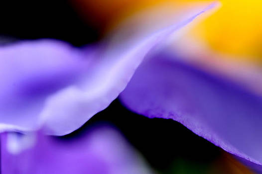 Pansies in the Wind by Frank DiGiovanni
