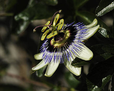Passion Flower 2 by Sherry Fain