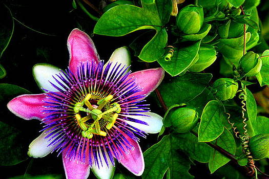 Passion Flower by C Nakamura