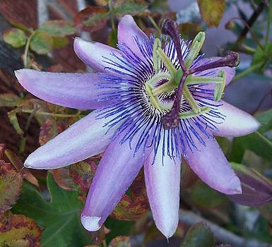 Passion Flower by Sally Hanrahan