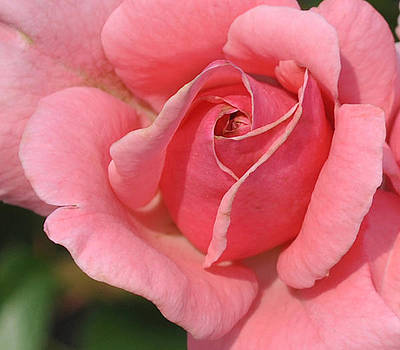 Peach Rose by Pat Thompson