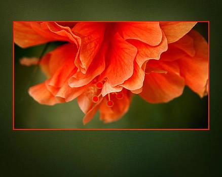 Peachy Flower by Shane Rees
