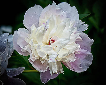 Peony Study Number Two by Michael Putnam