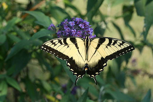 Perfectly Aligned Butterfly on Butterfly Bush by Bonnie Boden