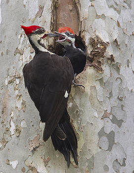 Pileated Woodpecker by Ruhikanta Meetei