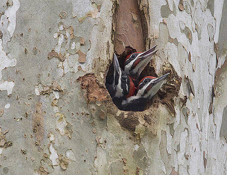 Pileated Woodpecker -Triplet by Ruhikanta Meetei
