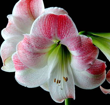 Pink and White Amaryllis  by Ed Ditch