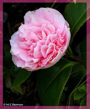Pink flower photo by M C Sturman