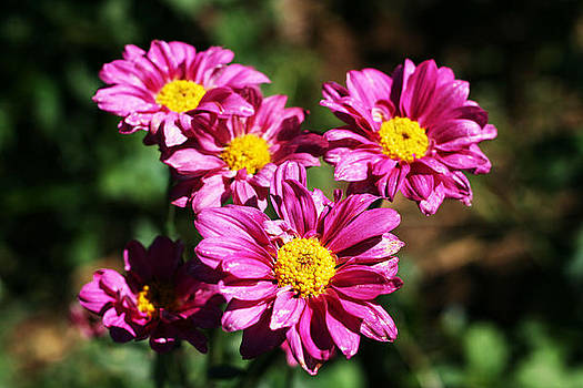 Pink Mums by Sonia Rodriguez
