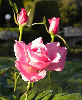 Pink rosal by Anna Baker