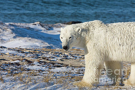 Polar bear by Buchachon Petthanya