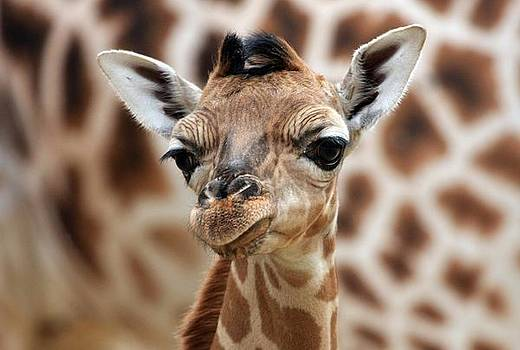 Portrait Of A Young Giraffe by Marcel Schauer