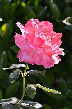 Pretty In Pink... by Tanya Tanski