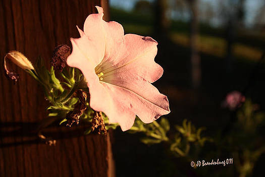 Pretty Petunia by JD Brandenburg