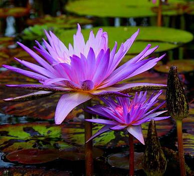 Purple Lotus by C Nakamura