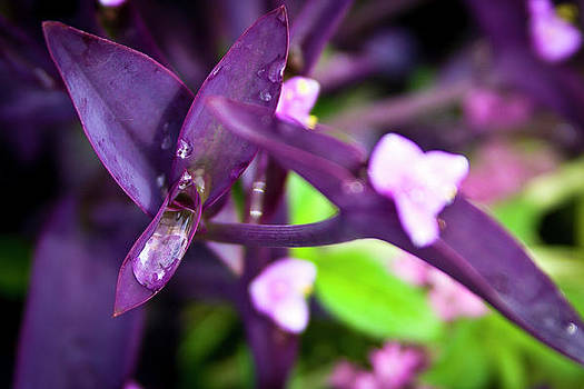 Purple Mornding Dew 2 by Jennifer Zandstra
