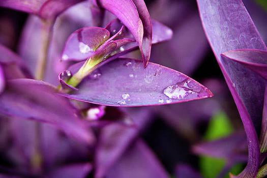 Purple Morning Dew 1 by Jennifer Zandstra