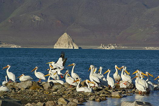 Pyramid Lake and Pelicans by Sally Hanrahan
