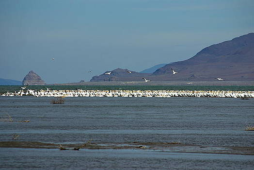 Pyramid Lake Pelican Migration by Sally Hanrahan