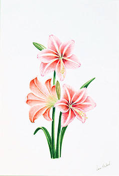 Red Amaryllis. by Louis Mifsud