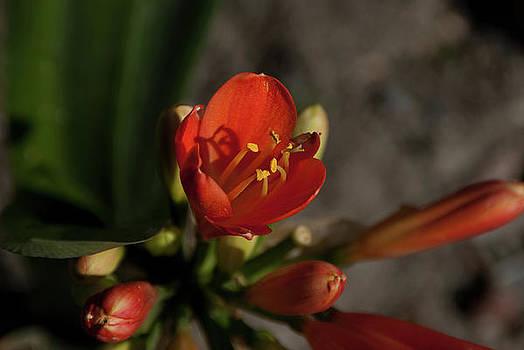 Red Lilium by Christian Almaraz