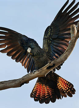 Red Tailed Black Cockatoo by Heather Thorning