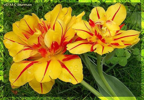 Red yellow tulips by M C Sturman