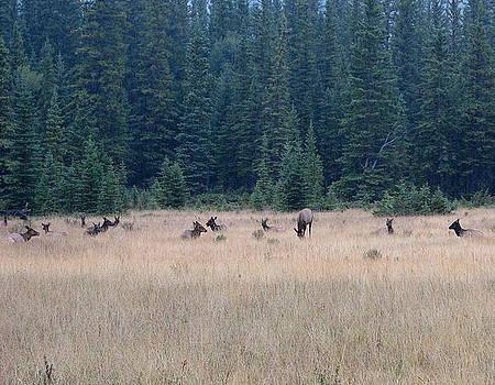 Resting Elk by Keith Rohmann