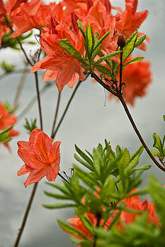 Rhododendrons by the Bay by Beverly Hanson