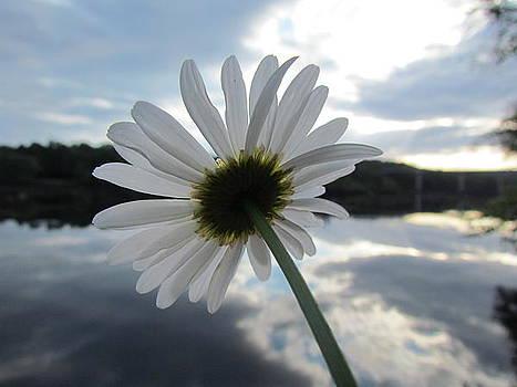 River Daisy by Ginger Wemett