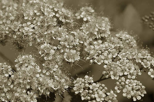 Sepia Toned Floral Arrangement by Ed Bertorello