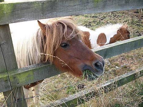Shetland Pony by Tony Payne