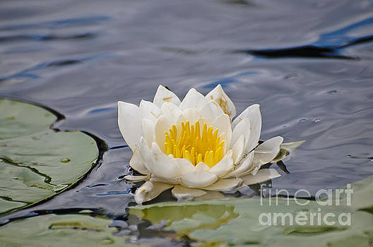 Single water lily by Christine Kapler