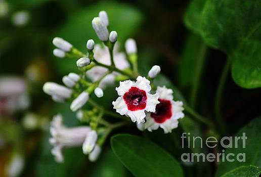 Skunk Vine Blossom by Theresa Willingham