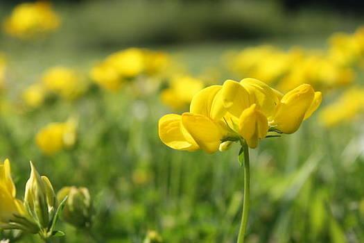 Small Yellows by Devon Stewart