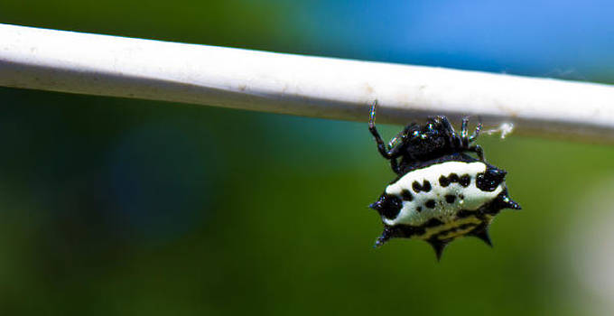 Spiny Backed Orb Weaver by Justin Ellis