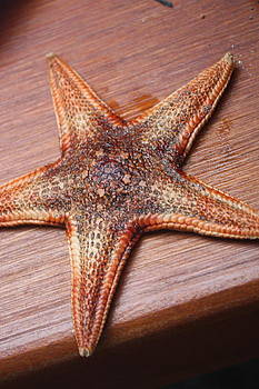 Starfish  by Tanya Peters