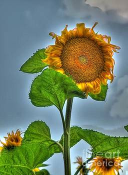 Sunflower One by Alfredo Rodriguez