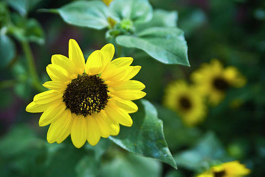 Sunflower Power by Jennifer Zandstra