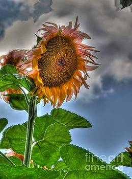 Sunflower Two by Alfredo Rodriguez