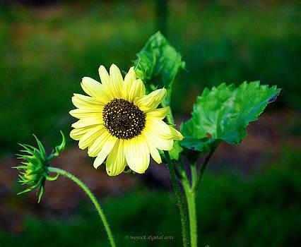 Sunflower by Walt Jackson