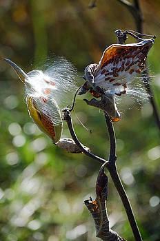 Sunny Milkweed by Debbie Cook